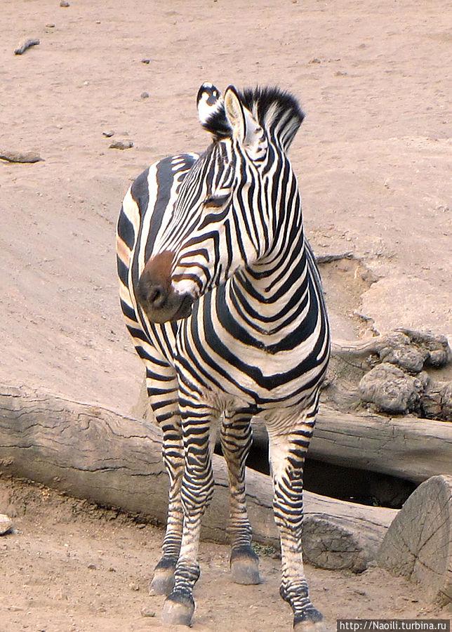 Это другая зебра