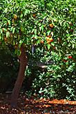 На многих деревьях все еще висят прошлогодние апельсины :)