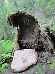вот так камни  регулярно выходят из под земли и валят деревья