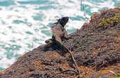 местная игуана-скалолаз (подробнее о них чуть позже)