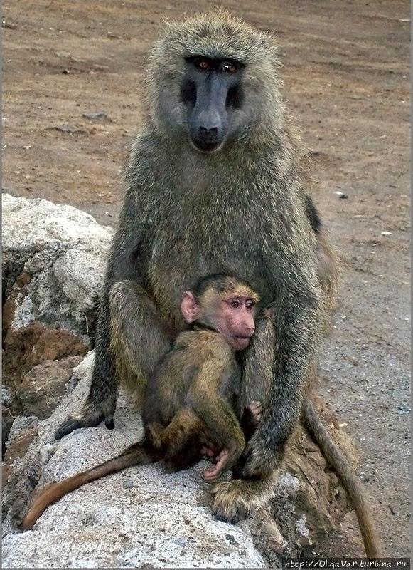 Бабуиниха с детёнышем