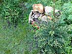 Обе ёлочки я спасла из задымленного и сухого леса в 2010 году, когда в Подмосковье горели торфяники