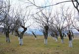 Этот тутовый сад, пожалуй, видел оба штурма, тутовые деревья живут очень долго