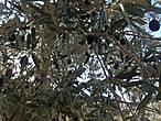 Так растут оливки.
