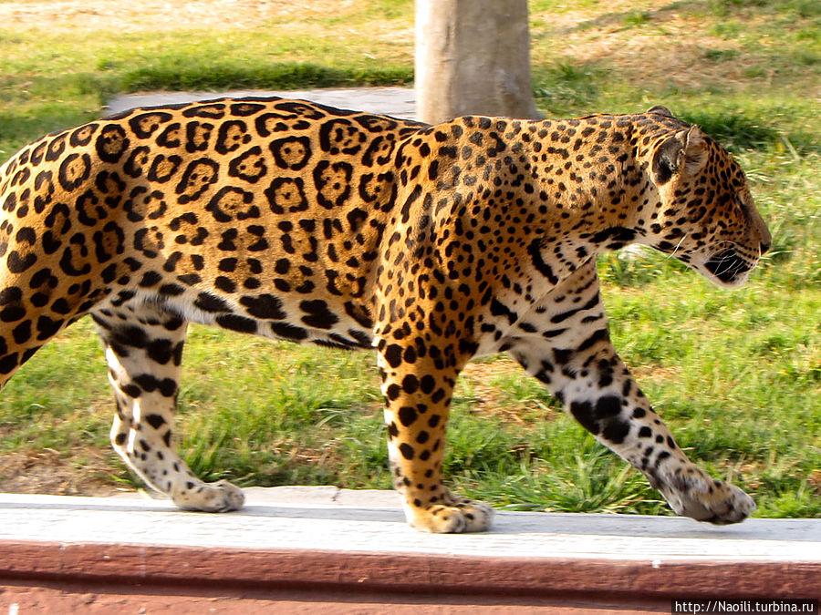 Ягуар обходит свои владения
