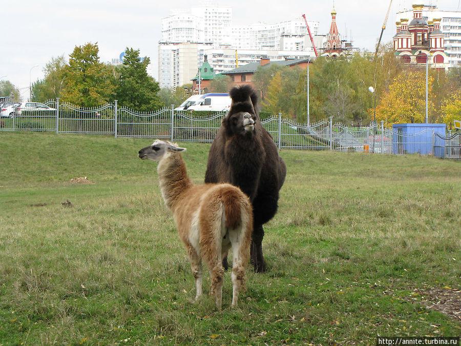 Двугорбый красавец и подруга- лама.