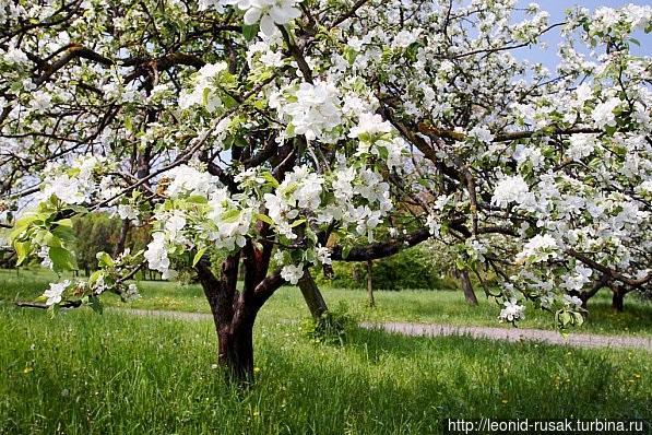 Цветущий яблоневый сад.