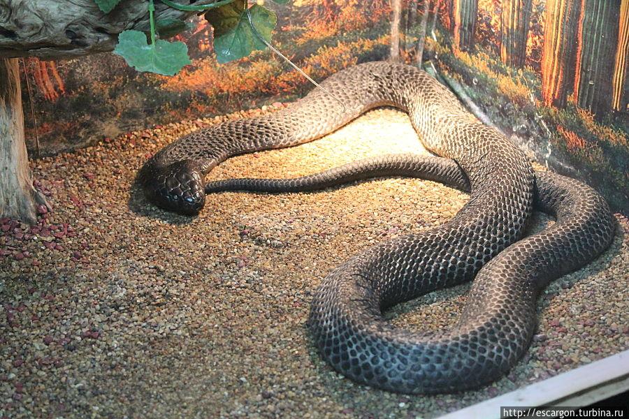 Черношейная кобра (Naja nigricollis)
