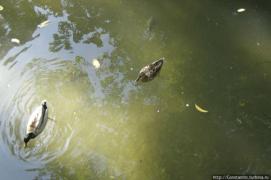 Утки и здоровенные караси в пруду. У нас бы их уже давно повылавливали.