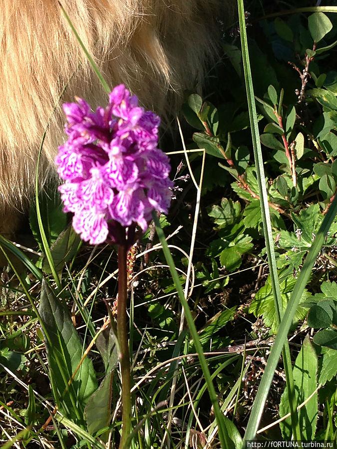 Северная орхидея-Ятрышник пятнистый