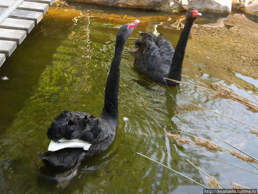 От лебедей не оторваться, их хочется фотографировать снова и снова