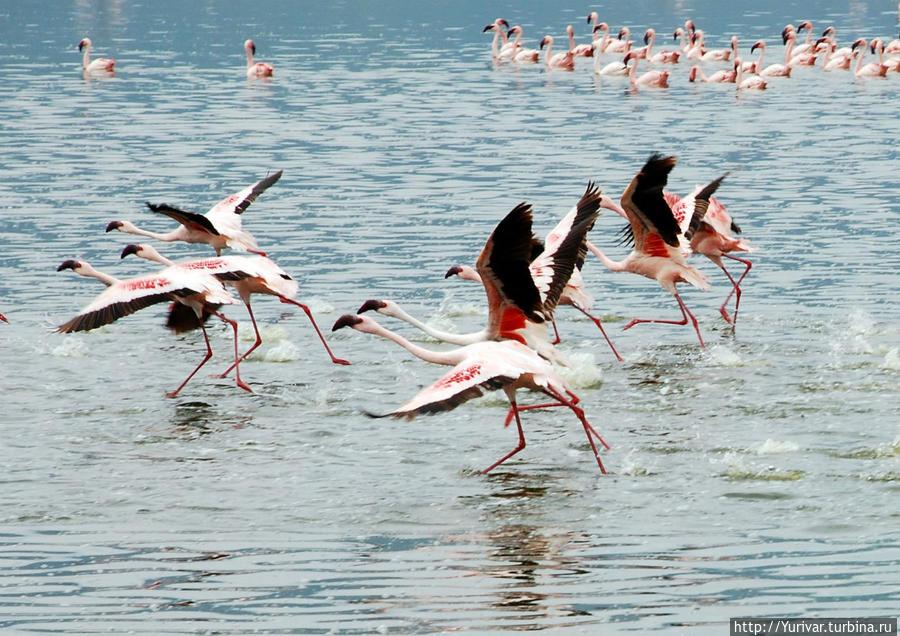 Фламинго на озере Богория