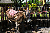 В старину для производства рома использовали вот, например, осликов