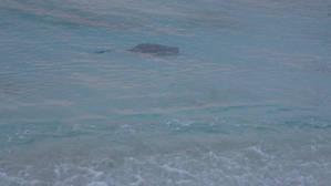 Огромный скат прямо рядом с берегом