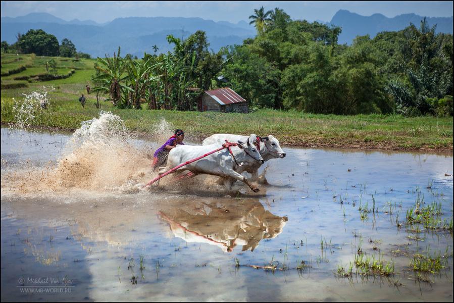 Мы протиснулись сквозь толпу, вооружившись длиннофокусными объективами и спустя еще минут десять на залитой водой террасе заметили первых мчащихся быков подгоняемых жокеем. Гонка началась. Паданг, Индонезия