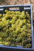 В 1 корзину помещается около 15 кг винограда