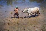 После забега гонщики вместе со своими быками спускались на соседнюю террасу, что бы смыть налипшую грязь