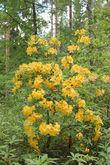Rhododendron luteum — Рододендрон жёлтый