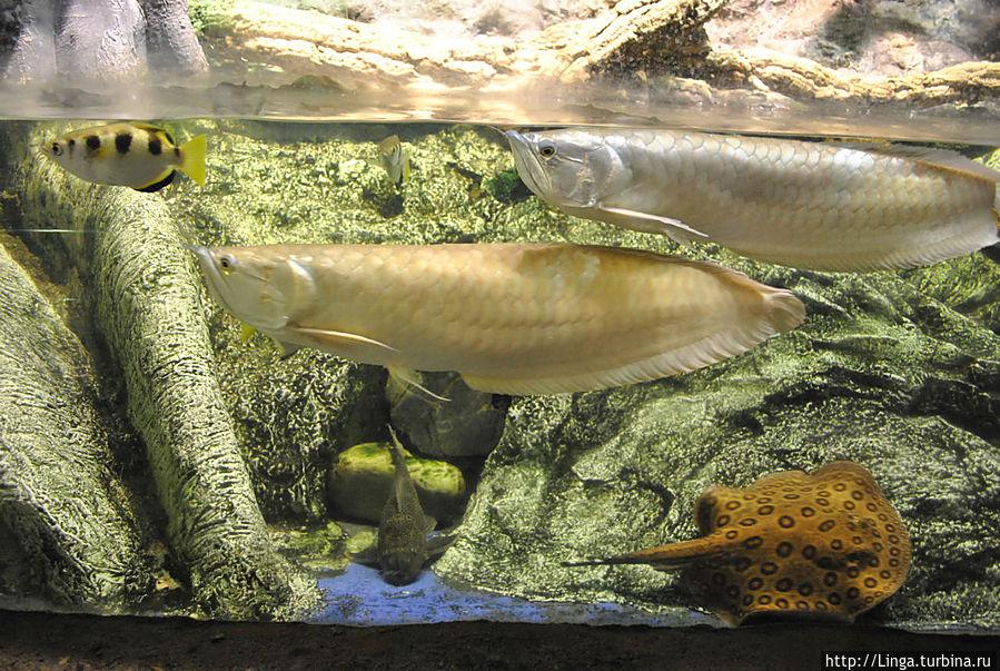 Носатая рыба — это ароуана (osteoglossum bicirrhosum). Охотсь за насекомыми и птицами, она может выпрыгивать из воды на высоту до двух метров.