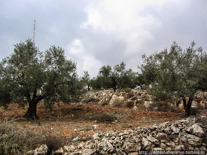 Оливковые деревья. Рамалла, Палестина