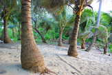 Кокосовая пальма — кормилица жителей островов