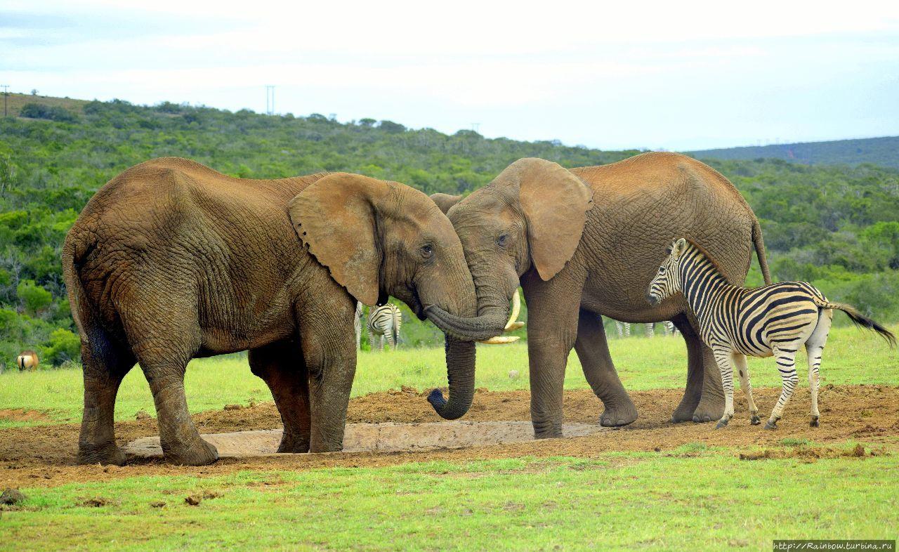 Слон здесь главный!