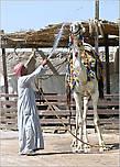 С удовольствием наблюдали, как бедуин купает своего верблюда. Представляю, какое блаженство в такую-то жару. Верблюд позволял купать себя с важным и несколько отсутствующим видом. Но видно было, что ему этот процесс нравится... *