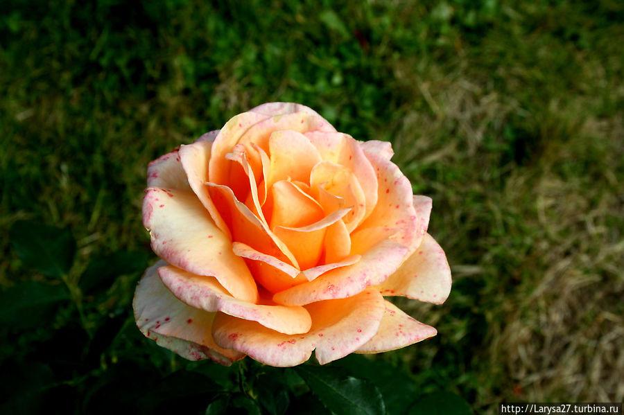Розовый Баден-Баден Баден-Баден, Германия