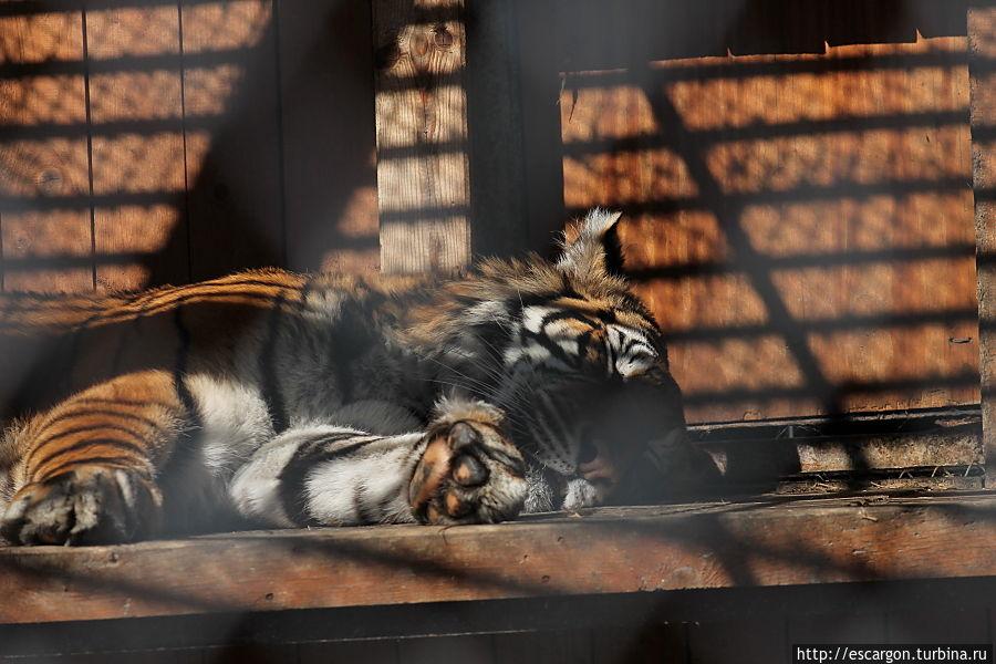 Амурский тигр (Panthera tigris altaica)   В Минском зоопарке содержится самка амурского тигра по кличке Алиса. Она прибыла из зооцирка