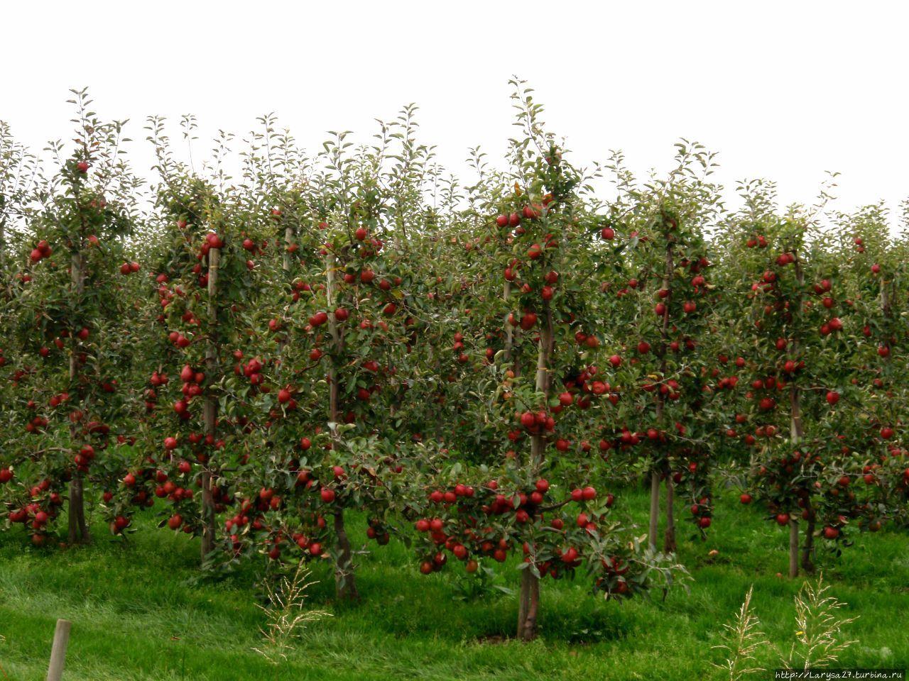 Отяжелевшие яблони всё ро