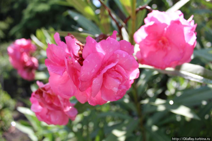 Цветки олеандра