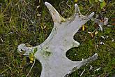 по дороге проходим чьи-то рога. похоже что северного оленя, но мы их в этот раз не видели, они в это время должны быть горазо севернее