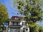 Рядом с кампусом IMD вижу омелу, приклеившуюся на одном из деревьев, смотрится интересно