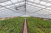 Ананасы на Азорах выращиваются в стеклянных теплицах. Стекло покрашено белой известью. Азоры это единственное место на свете, где Ананасы выращиваются в промышленных масштабах в теплицах.