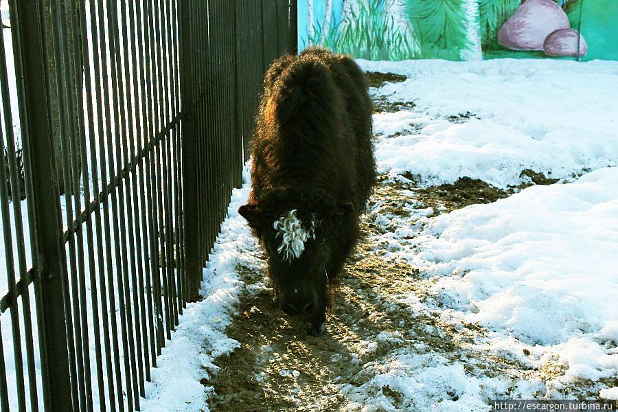 Овцебык (Ovibos moschatus)  В настоящее время коренные популяции овцебыка населяют область Северной Америки. Попытки акклиматизации овцебыка в Швеции, Исландии и Норвегии не имели особого успеха.