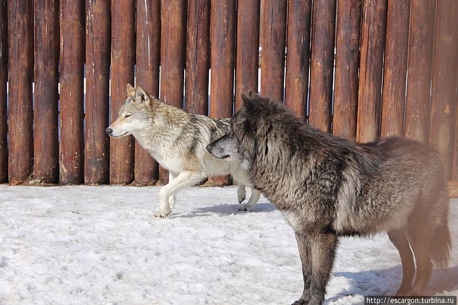 Черный канадский волк (Canis lupus pambasileus)  Обитает в степях и лесостепях Центральной и Северной частей Канады. Является подвидом волка обыкновенного. В отличие от него, чаще имеет чёрный окрас, но может быть серым или белым. В зоопарке живут 2 самца канадского волка. Их зовут Черныш и Серик.