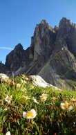 Альпийские ромашки — самые счастливые ромашки в мире!