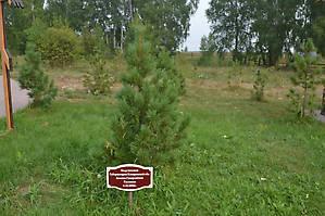 Дерево, посаженное губернатором А.Тулеевым.