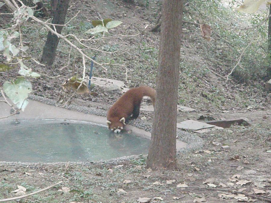 Панда — бамбуковый мишка Чэнду, Китай