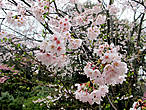 Просто цветущая сакура