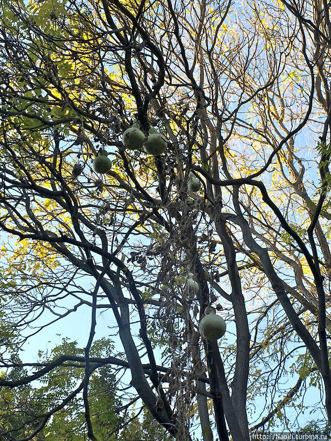 Тыквы растут где-то совсем высоко, листья уже высохли а огромные груши плодов остались.