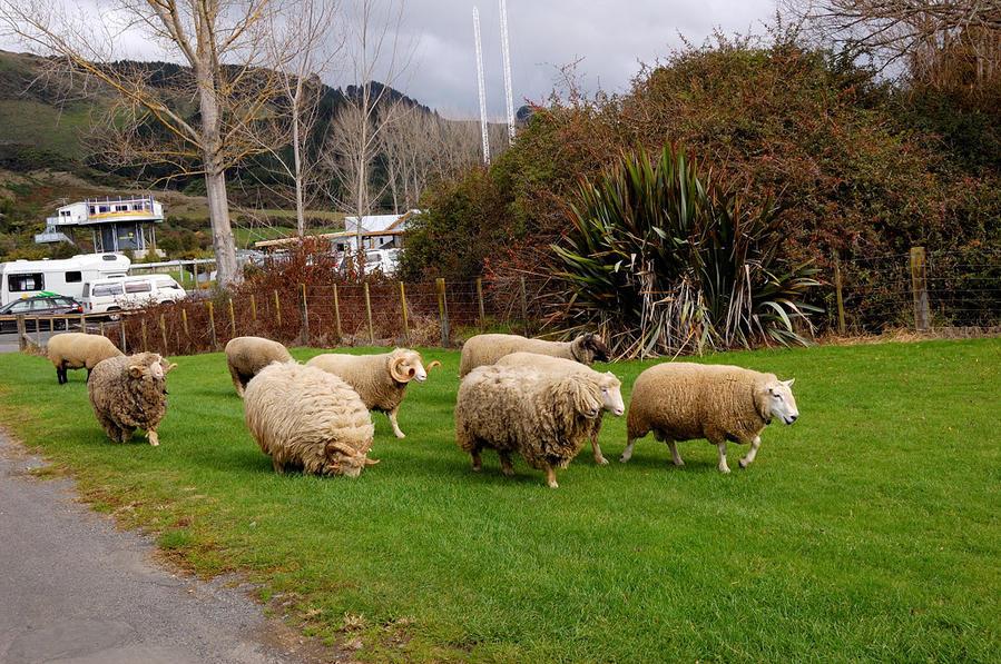 Пушистые овечки идут стричься