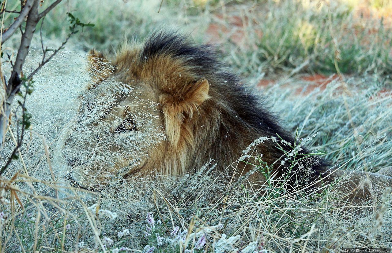 Старый лев борозды не испортит Эринди-Прайвет-Гейм заповедник, Намибия
