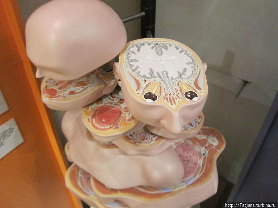 Тело человека в разрезе