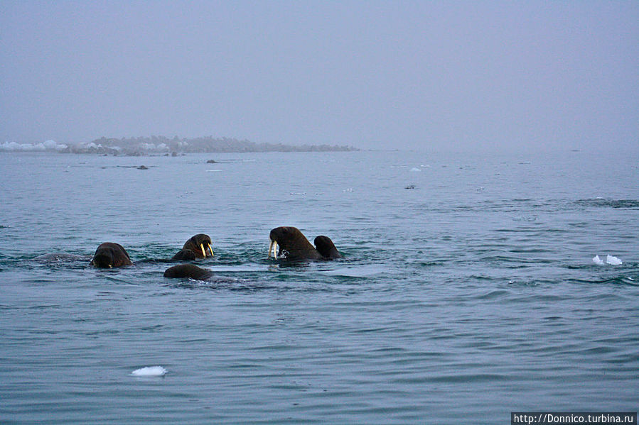 Суп из моржей Земля Франца-Иосифа архипелаг, Россия