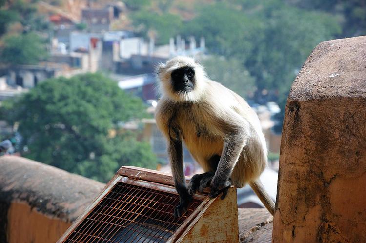 Здесь живут обезьяны-нигг