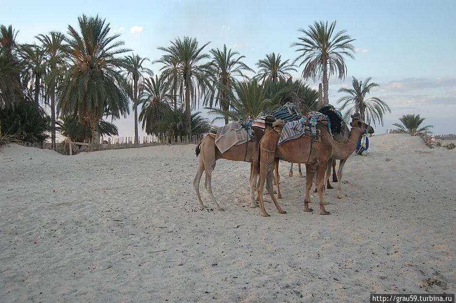 Верблюды пока отдыхают