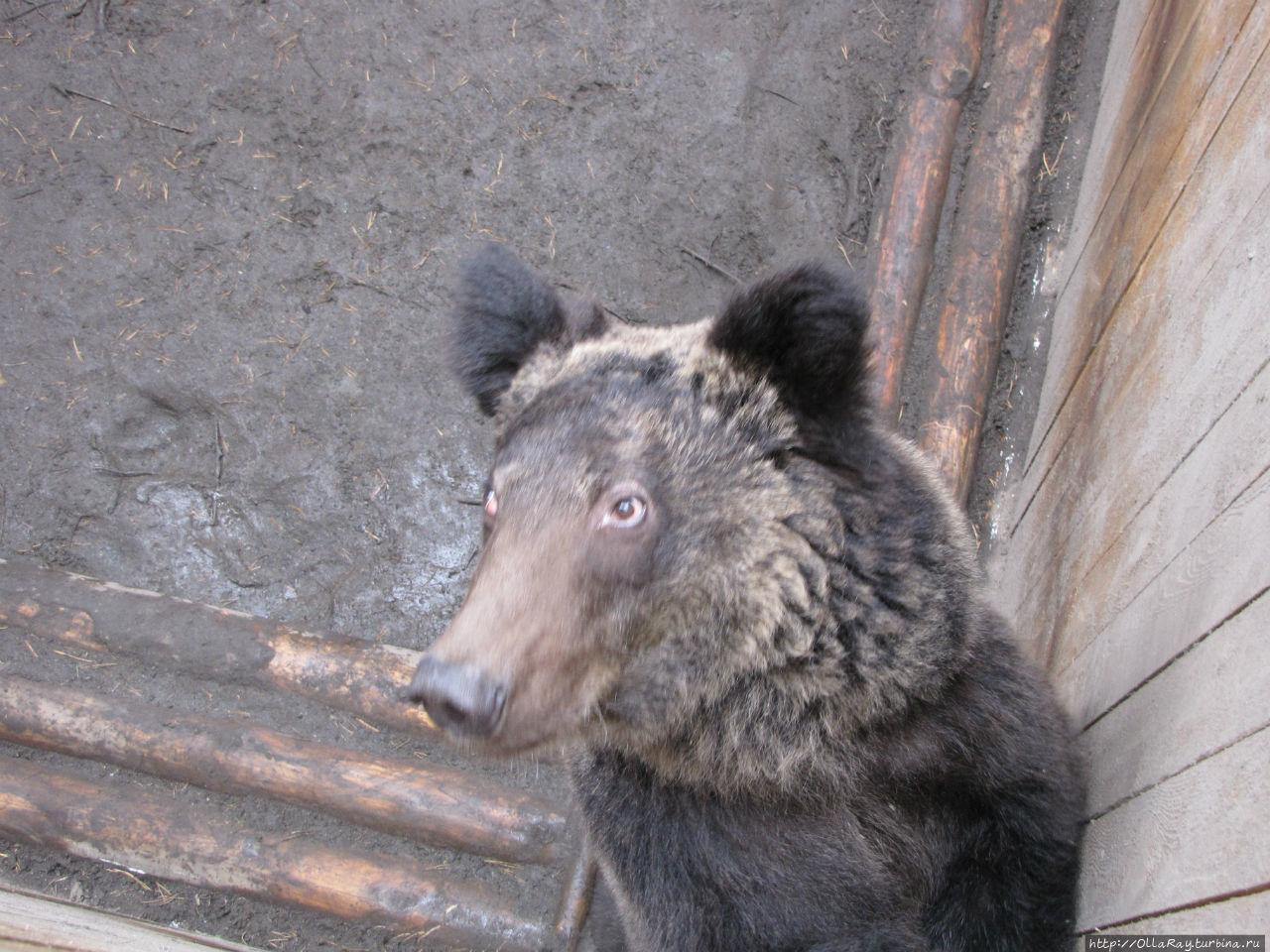 Цирковой медведь, практически потерявший зрение от блеска софитов.