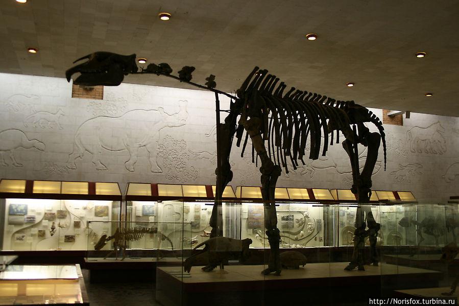Скелет Индрикотерия. Ср. олигоцен. Казахстан