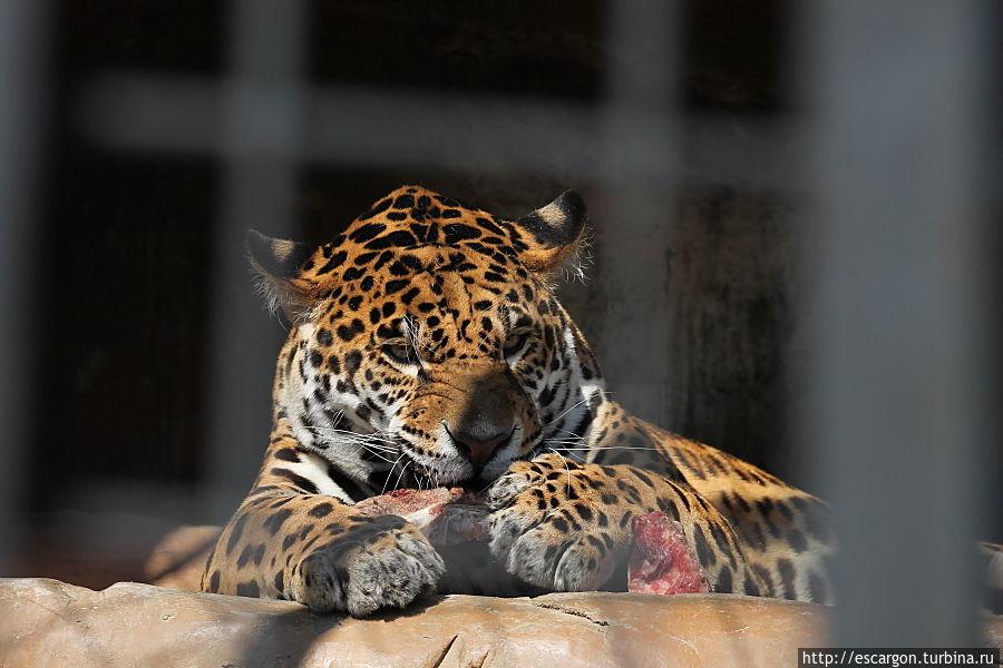 Ягуар (Panthera onca)  В конце 2012 года коллекция Минского зоопарка пополнилась парой ягуаров. Молодой самец, по кличке Энджел, приехал в Минск из Ленинградского зоопарка. А полугодовалая самочка Лада прибыла из Липецка. Пока они содержатся в разных вольерах, но в будущем планируется их совместное переселение в Экзотариум, после завершения его строительства.